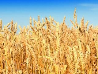 河南稳步推进小麦高质量生产