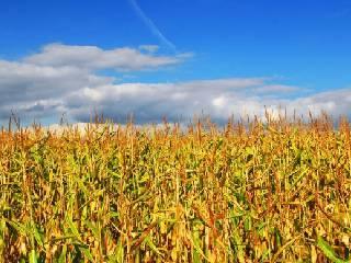 玉米期价后期或将震荡上升
