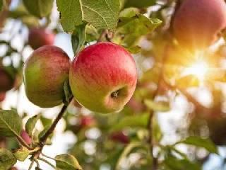 苹果期货即将上市 交易品种为红富士