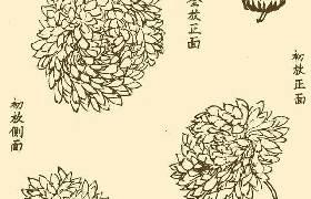 国画菊花图片教程