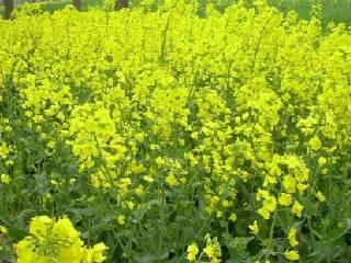 湖南油菜种植面积持续多年中国第一