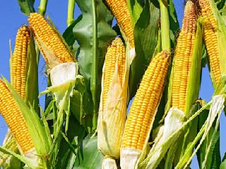 """未来玉米""""以质论价"""" 好粮价格或更抗跌"""