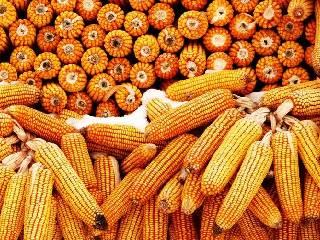 国内玉米现货价格基本稳定 暂无进一步下跌空间