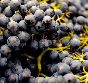 迎来丰收 法国2018年葡萄产量将比2017年上涨27%