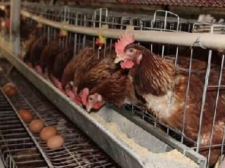 """蛋鸡后市或步入""""凉凉""""周期"""