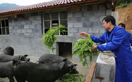 千万富翁进大山养猪 还会给猪播放音乐让猪自然长大