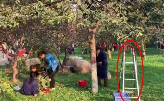 高校柿子遭市民哄抢 为摘下更多不惜折断整段树枝