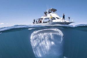 """顽皮鲸鲨潜伏游艇下近一个小时 安静""""观察""""游客"""