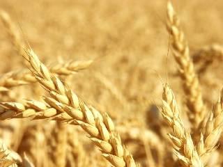 河北强筋小麦面积360万亩以上