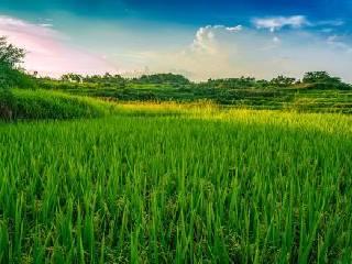 """浙江新昌探索""""绿色水稻种植法"""""""