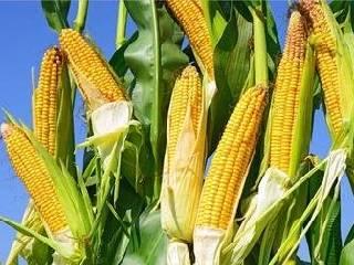 逢低买盘进场 CBOT玉米期货周四终结连跌收涨