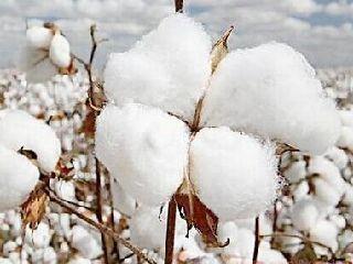 棉花期价反弹 需求端未见明显好转