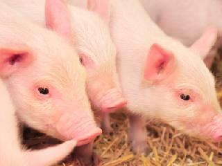 生产恢复出栏量增加 猪肉价格连续回落