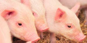 猪肉价格已连续12周下降 农业经济发展良好