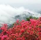 景点大全-白马雪山高山杜鹃林