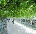 景点大全-盖北野藤葡萄园
