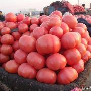 以色列西红柿