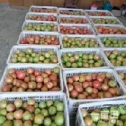 粉迪尼217西红柿