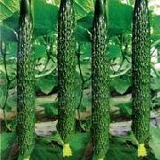 中農106黃瓜