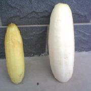 重慶大白黃瓜