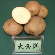 大西洋土豆