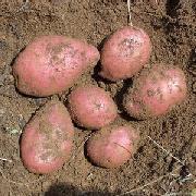 青薯9号土豆