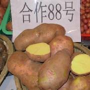合作88号土豆