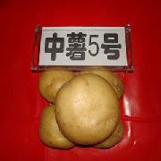 中薯5号土豆