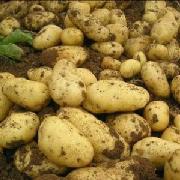 威芋五號土豆