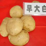 早大白土豆