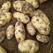 大白花土豆