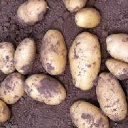 荷兰14土豆