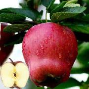 元帅系苹果