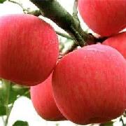 長枝煙富六號蘋果