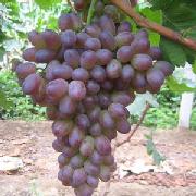 著色香葡萄