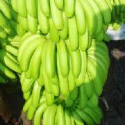广西矮香蕉