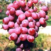红巴拉多葡萄