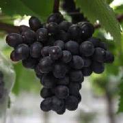 黑巴拉多葡萄