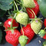 美十三草莓