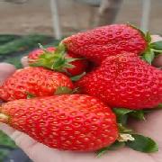 拉松6号草莓