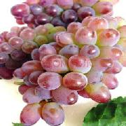 郁金香葡萄